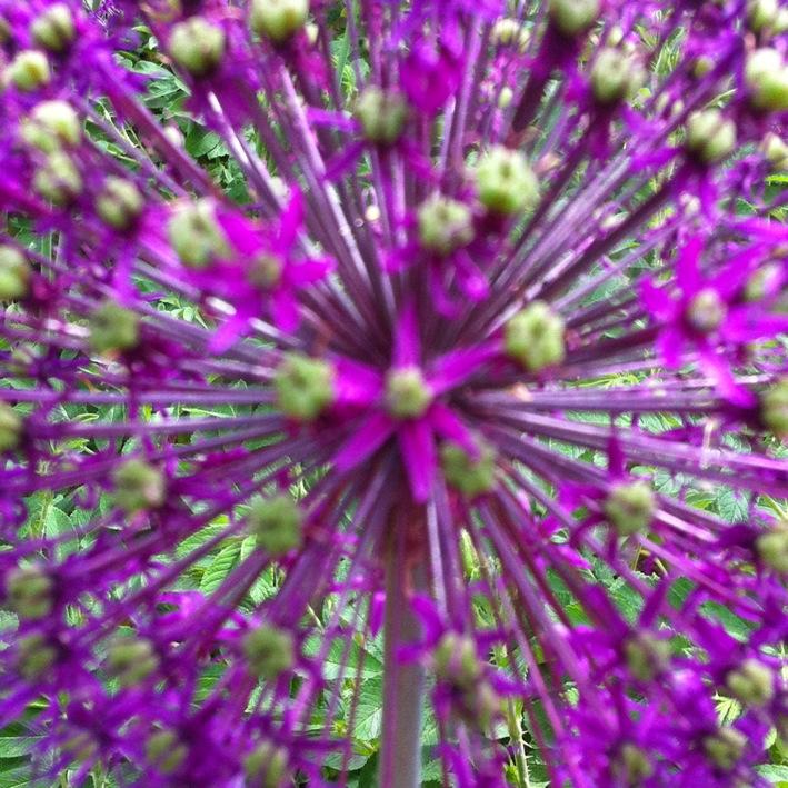 IMG_5360 AlliumAllium_web